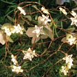 Copper Micro Firefly Wire Battery Star Fairy Lights, 20 Warm White LEDs